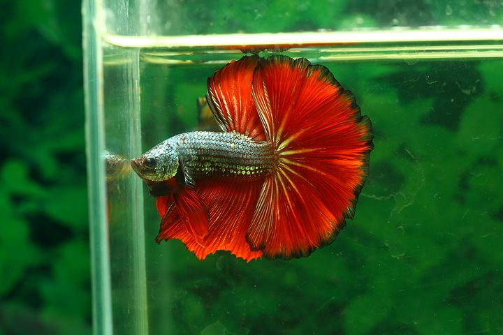 How To Care for Bettas, Siamese Fighting Fish