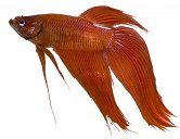 Betta occur in a myriad of colors and are breeding for more and more