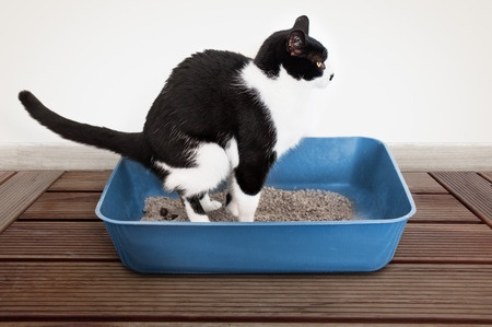 Cat in the litter pan having trouble going to the bathroom.