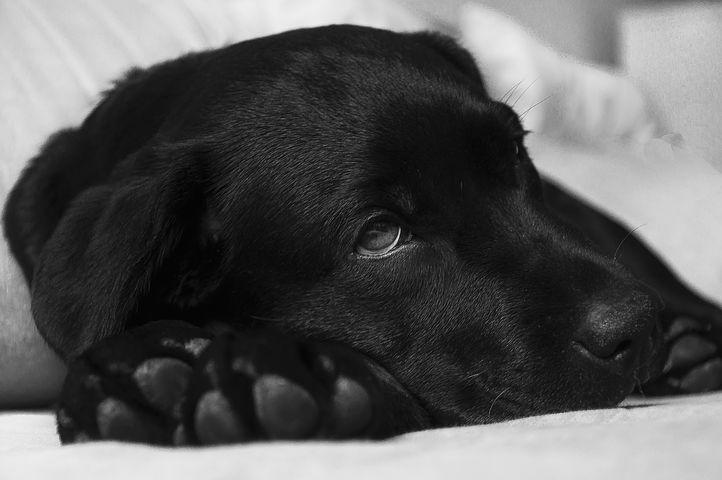sick_puppy_ewka_pn_pixabay