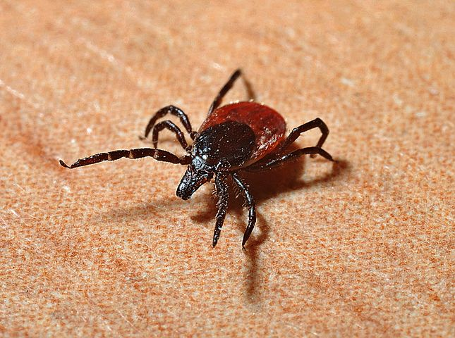 Dogs carrying ticks should be immunized to avoid that chance that they will have the debilitating immune response to the disease.