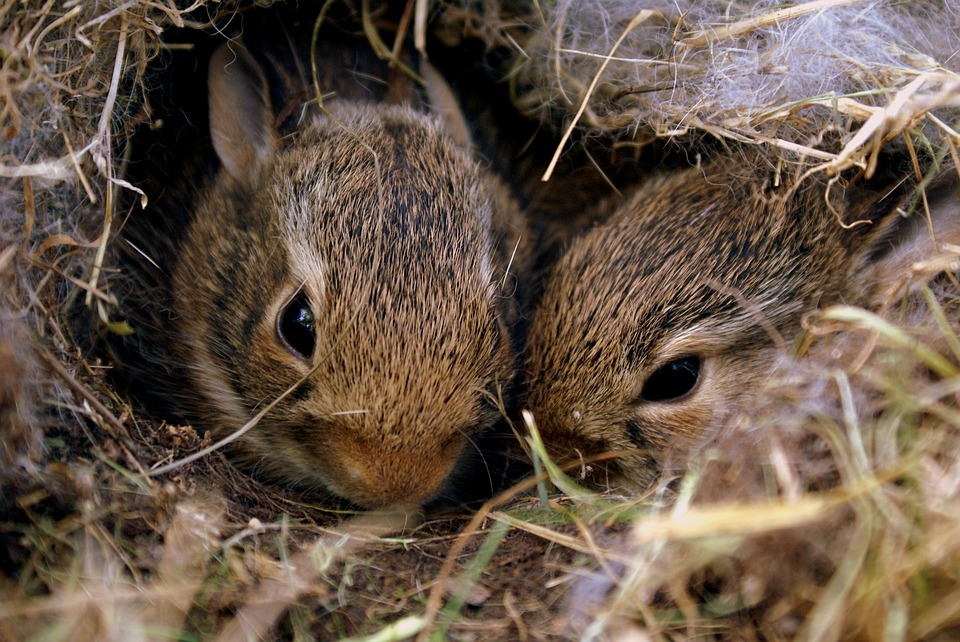 How to Care For Wild Foundling Baby Bunnies (Download)