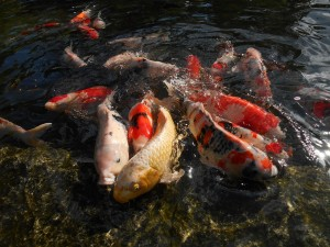 Feeding Koi and Pond Fish