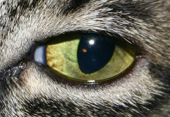 Corneal Ulcers in Dogs and Cats