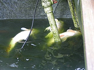 PH Crash Is a Common Fish Killer in Ponds and Aquaria