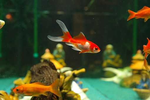 Selection, purchase, and set up of a tank for fish – geared to the beginner.