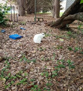 What to Do With A Domestic Bunny In Your Yard?