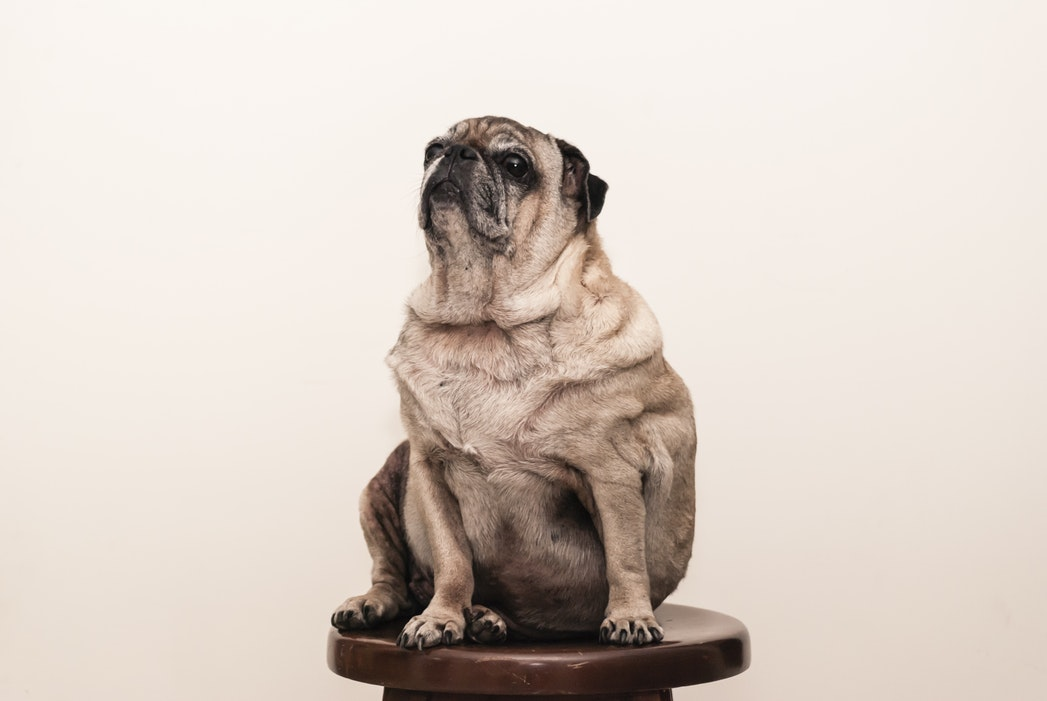 Dogs That Are Very Heavy But Barely Eat At All