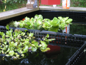 Using a Veggie (vegetation) filter to stop green water