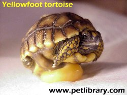 Care and Breeding YellowFoot Tortoises – Geochelone