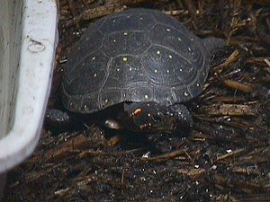 Spotted Turtles – Scientific Name: Clemmys guttata