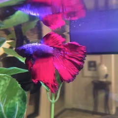 How to Save a Sick Siamese Fighting Fish or Betta