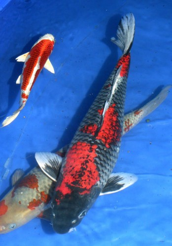 Koi Cannibalism: Will Koi Eat Smaller Koi and Goldfish?