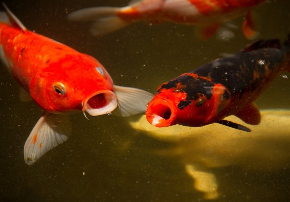 Koi and Pond Club Link Exchange