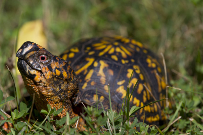 box turtles as pets