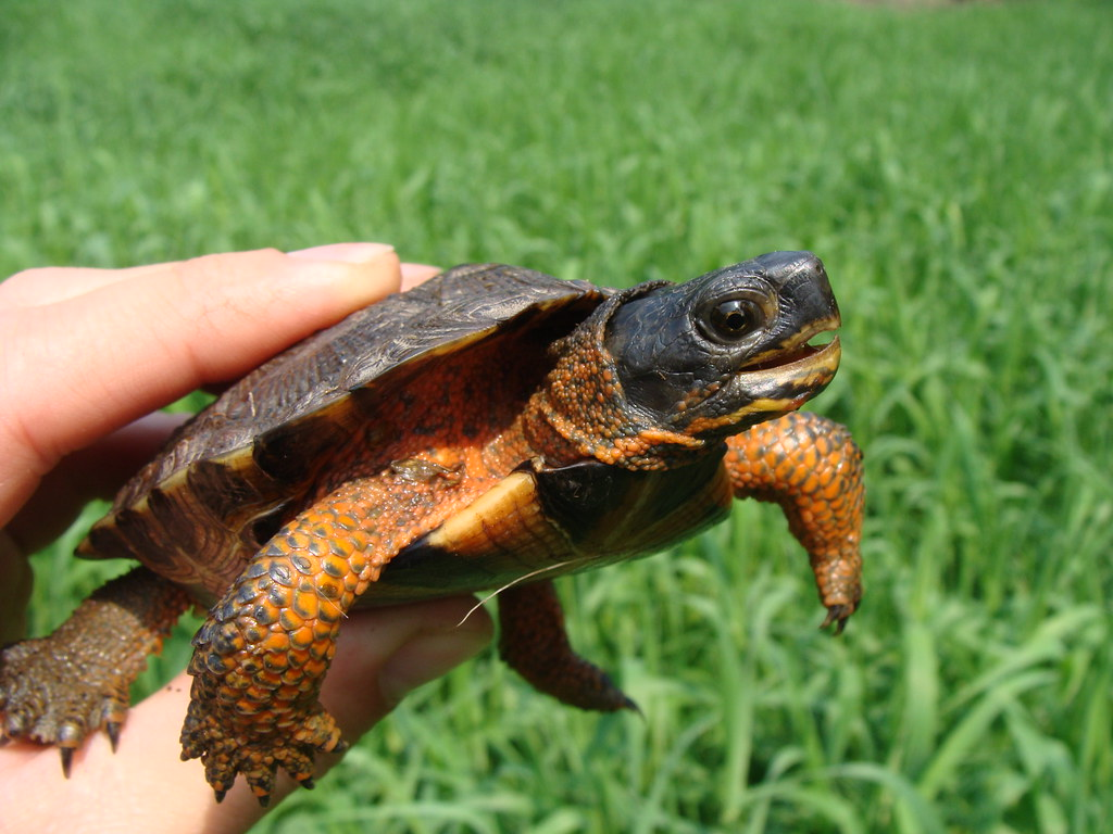 Wood Turtles Clemmys insculpta