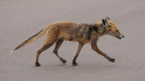 A Fox With Scabies Won't Stop Itching.