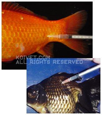 Baytril / Enrofloxacin Dosing Injectable in Koi and Pond Fish