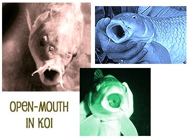 acorn in a kois mouth