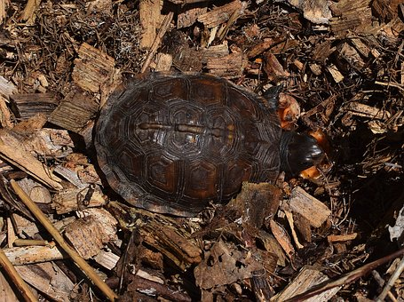 Are Eastern Box Turtles Protected From Being Pets in Georgia?