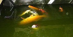 What Should I Know About Feeding Koi in Warm Water?