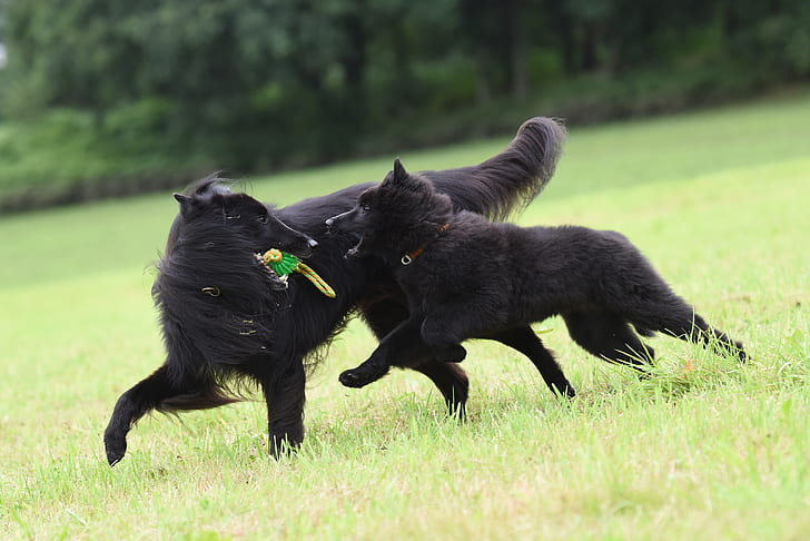 Two Large Vicious Black Dogs Chased Me.