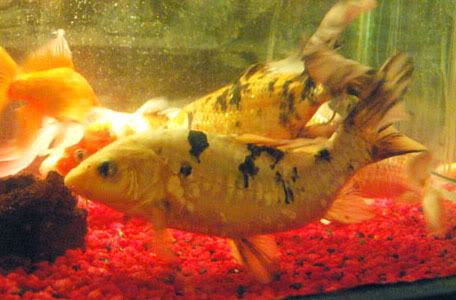 Broken Back or Scoliosis in Koi and Pond Fish