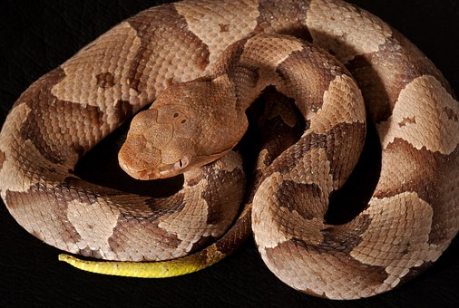 Copperheads as a liability to pets in residential areas