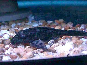 Plecostomus for String Algae Control in ponds and tanks