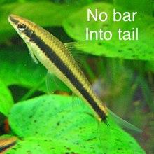 Algae Eater Or Plecostomus