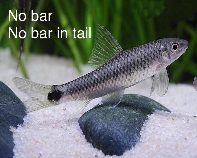 Algae Eater Species