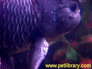 gender of goldfish