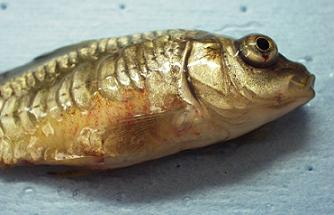 Dropsy (Bloater) Pinecone Disease in Koi & Goldfish