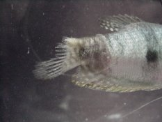 My fish has ragged fins or fin rot?