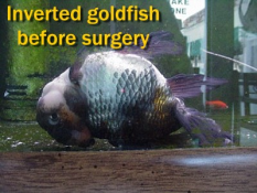 flipover disease in goldfish