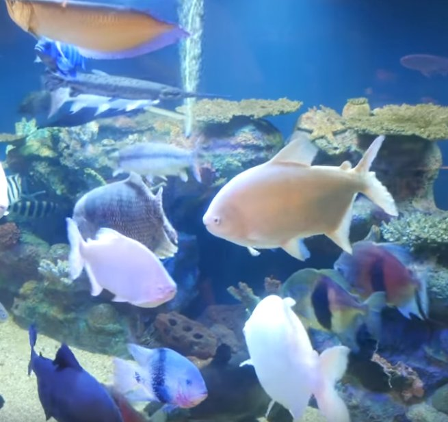 Some of The Biggest Aquarium Tropicals You Will See