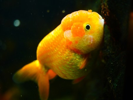 Goldfish Care and Success for the Beginner