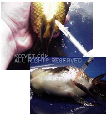 Koi Fish and Injections of Antibiotics