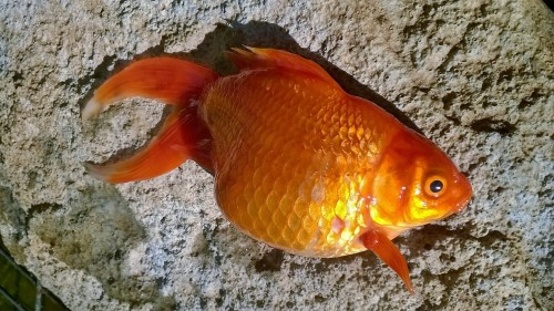 Dropsy And Fin Rot