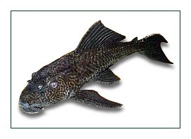Koi Fish Wounds