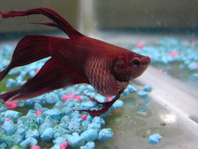 Fish Tuberculosis or TB Mycobacterial Infections Symptoms and Prevention