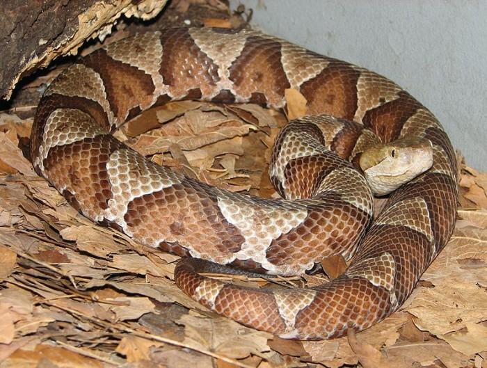 bite copperhead dog snakebite